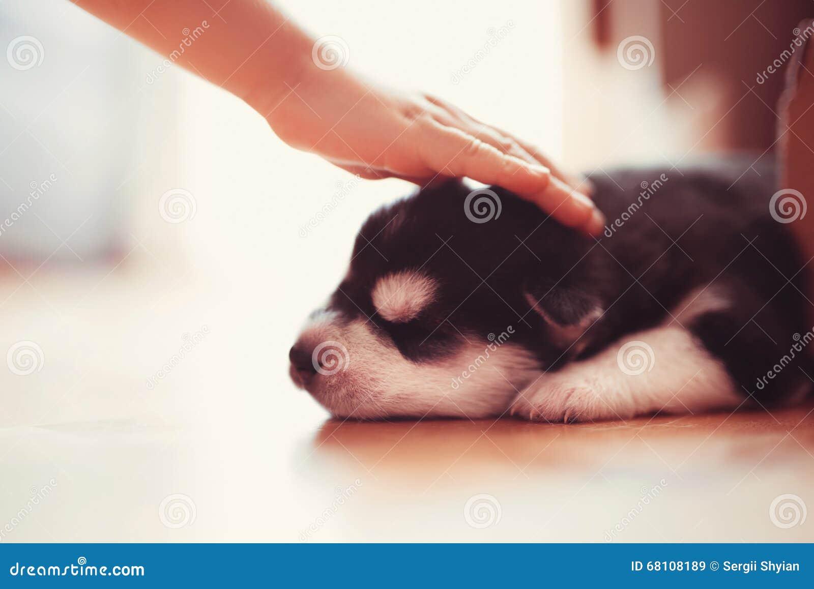Beautiful Little Puppy Siberian Husky Stock Image Image Of Resting