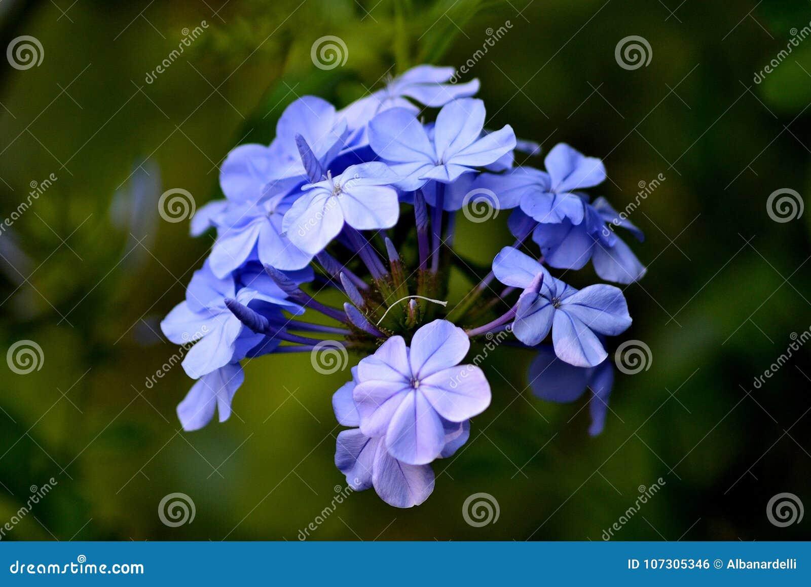 Beautiful little violet jasmine flower stock photo image of blue beautiful little violet jasmine flower izmirmasajfo