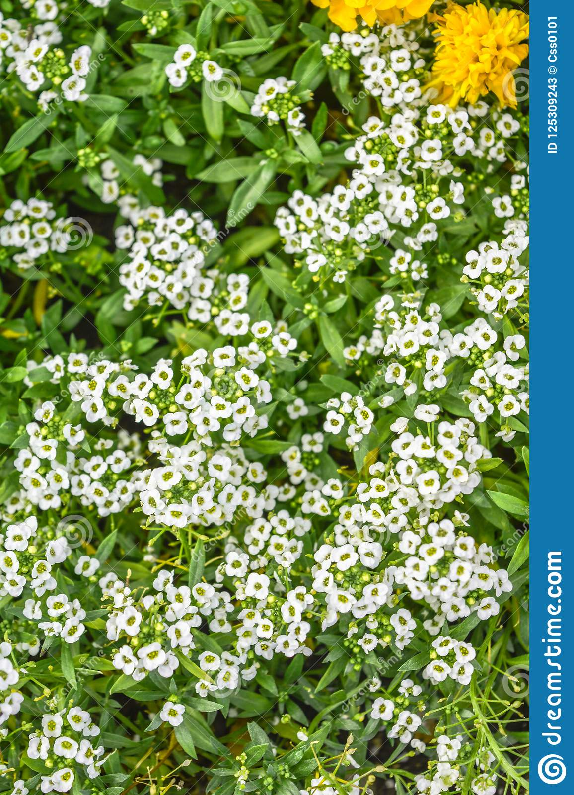 Beautiful Little White Flowers Nature Scene With Blooming Garden
