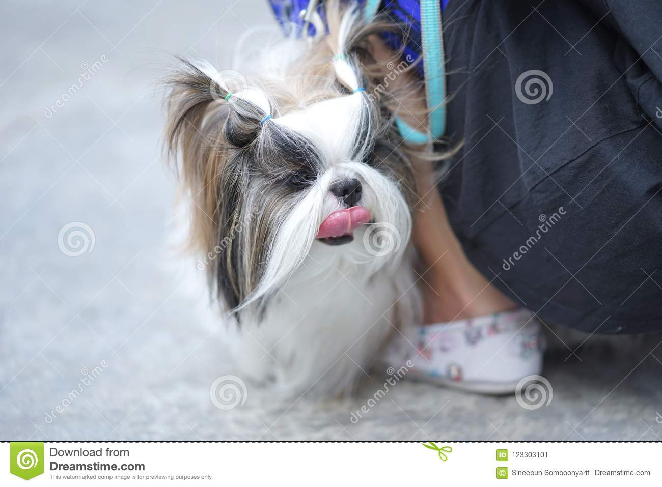Beautiful Long Hair Shih Tzu Dogs Standing By His Owner On The F