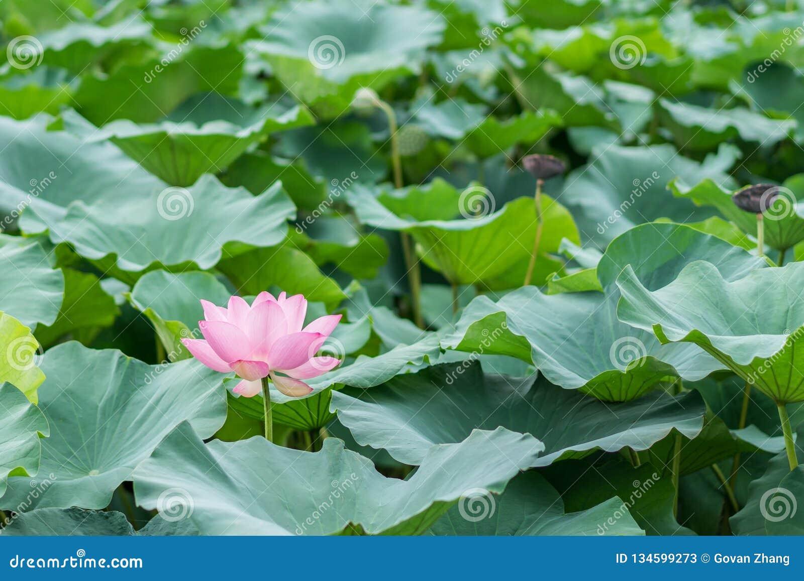 Beautiful lotus blossoms in pool