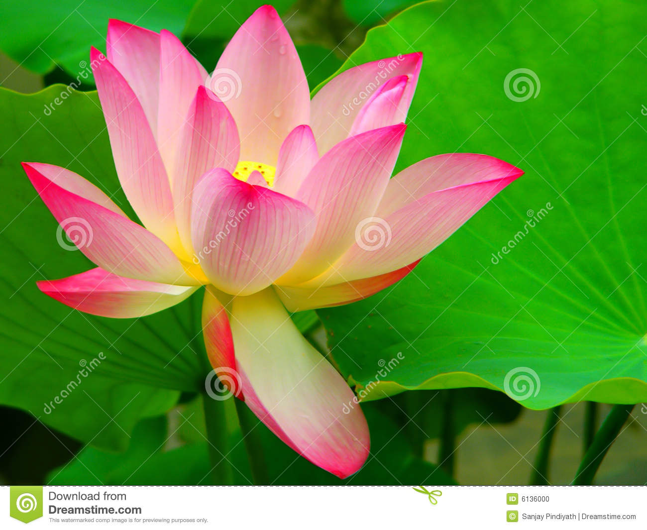 beautiful lotus flower stock photo  image, Beautiful flower