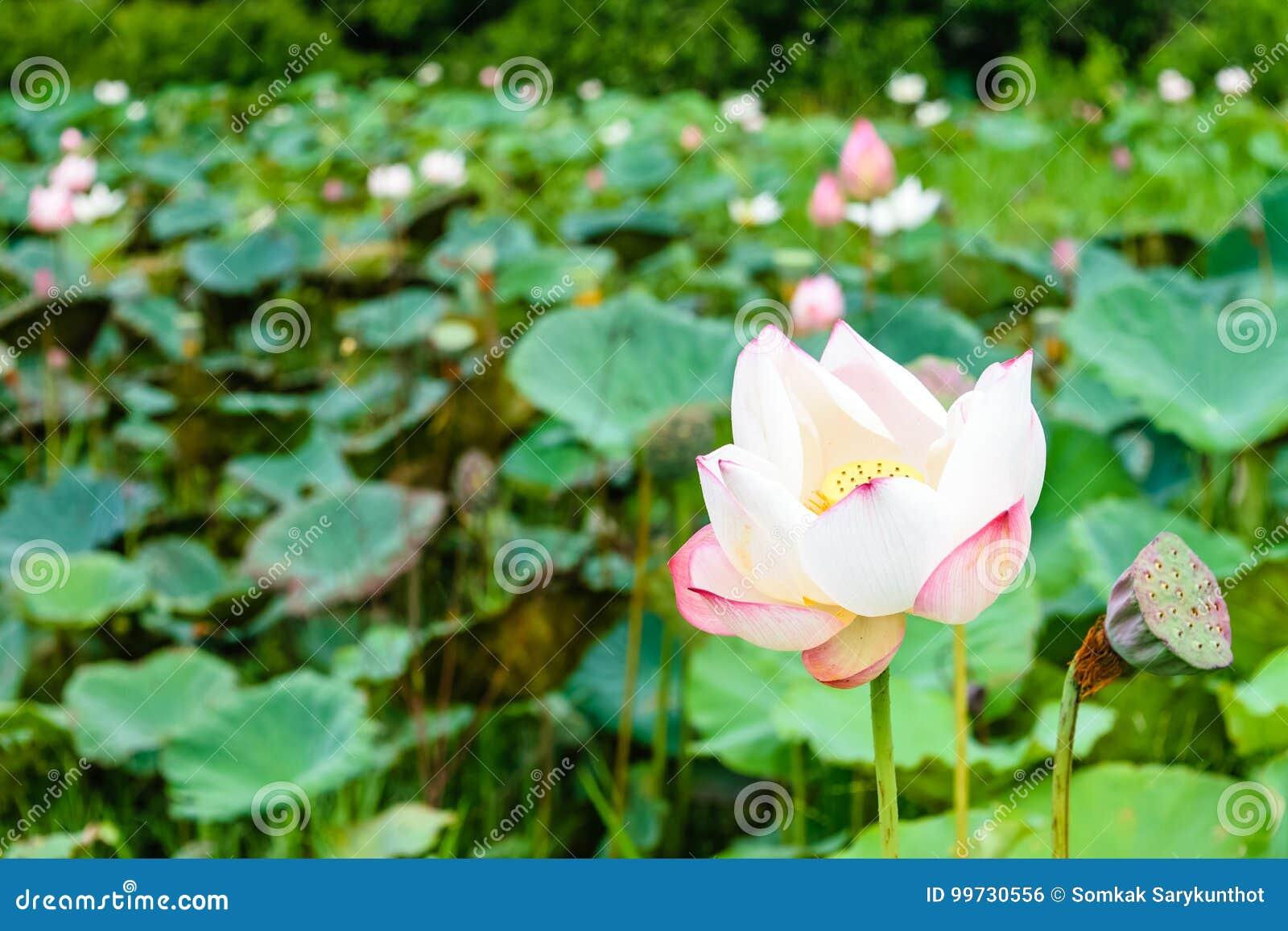 Beautiful lotus flower stock photo image of lotus oriental 99730556 download beautiful lotus flower stock photo image of lotus oriental 99730556 izmirmasajfo