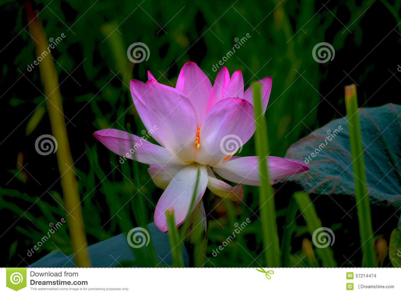 beautiful lotus flower in a cloudy day stock photo  image, Beautiful flower