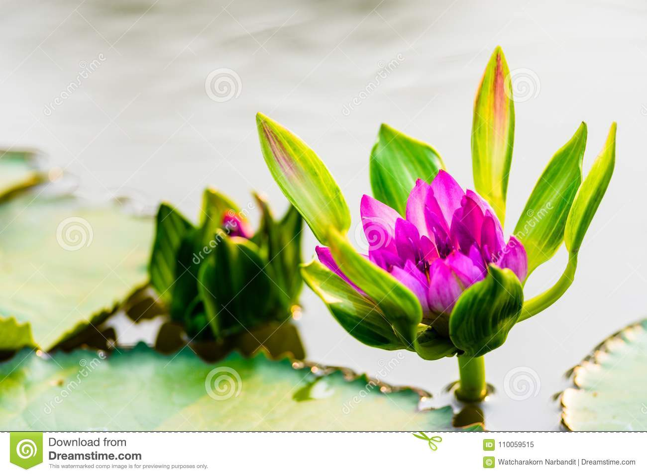 Beautiful Lotus Flower With Green Leaves And Bright Water Background