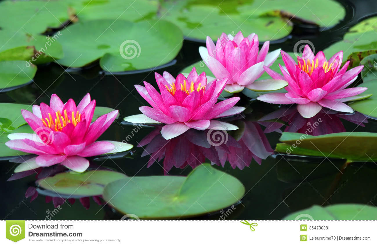 Beautiful Lotus Flower Stock Photo Image Of Background 35473088