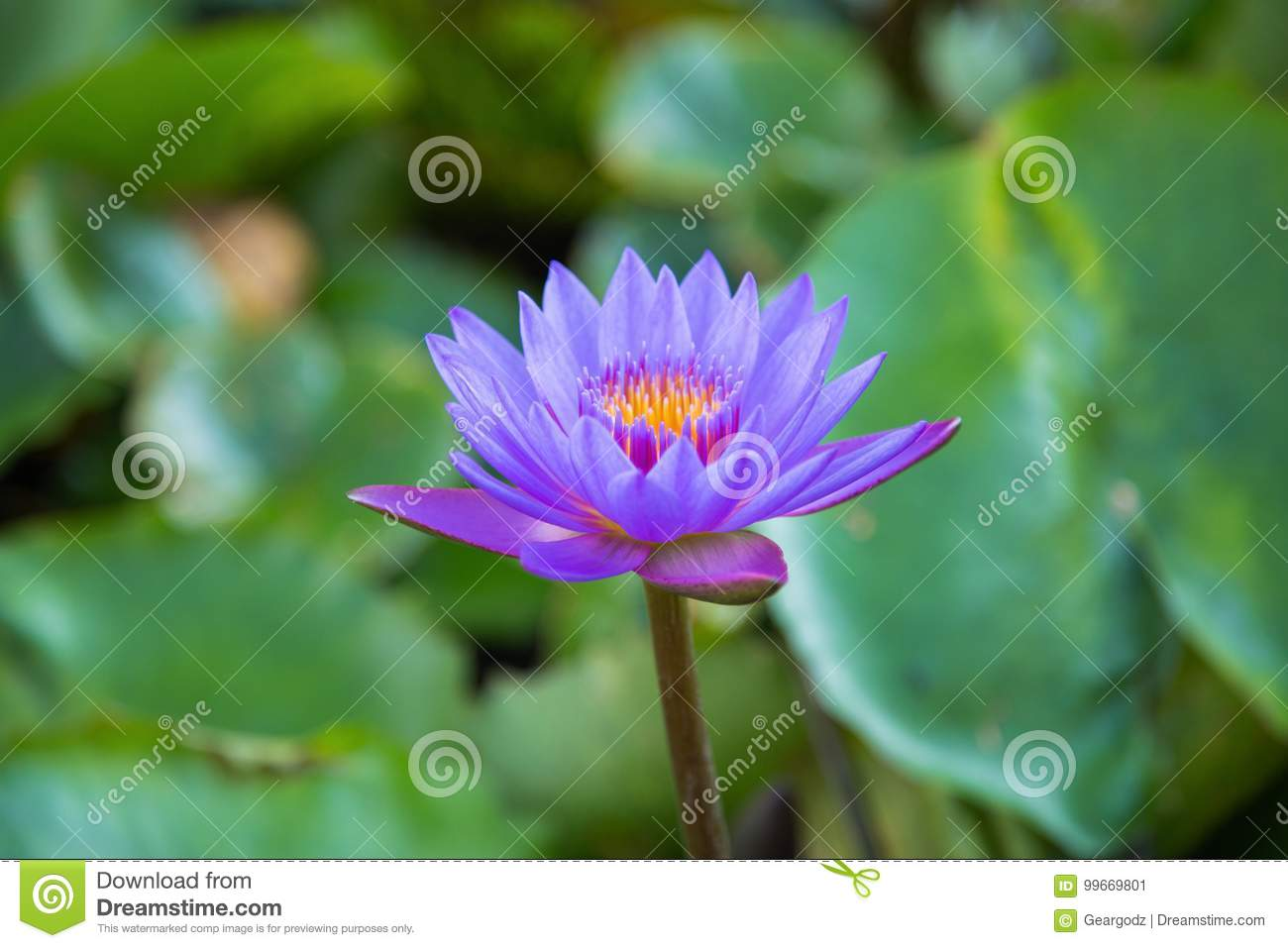 Lotus flower in pond at marina bay front singapore stock image download lotus flower in pond at marina bay front singapore stock image image of mightylinksfo