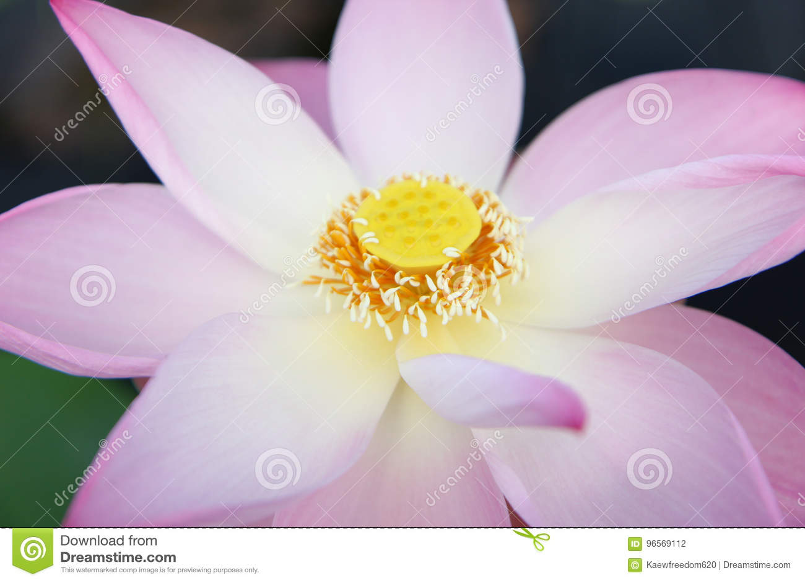 Beautiful Lotus Flower Stock Photo Image Of Pollen Like 96569112