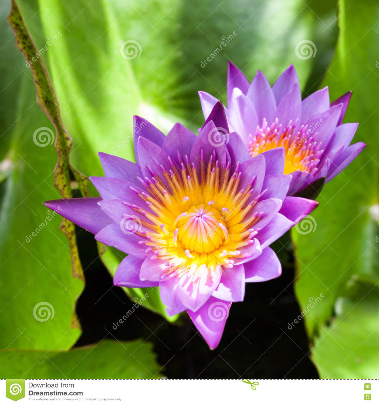 Beautiful Lotus Flower Saturated Colors And Vibrant Detail Make