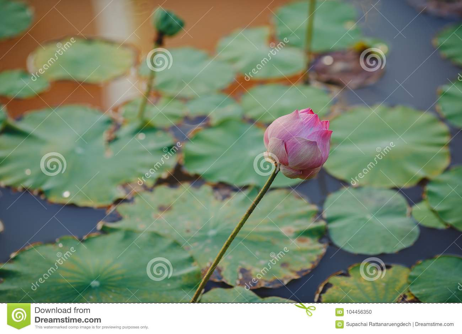 Beautiful Lotus Flower Stock Photo Image Of Flora Love 104456350