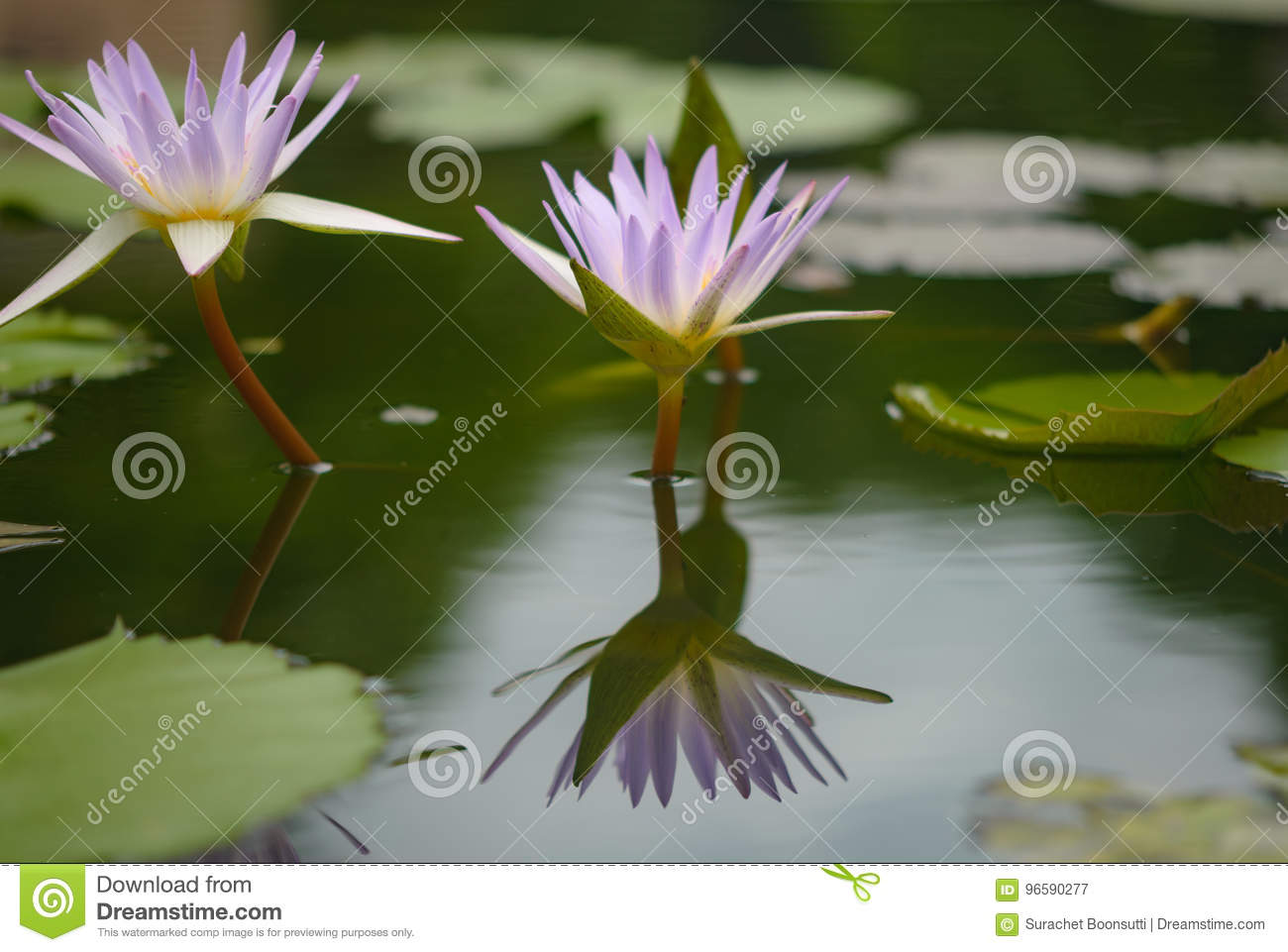 Beautiful Lotus Flower Is The Symbol Of The Buddha Stock Image