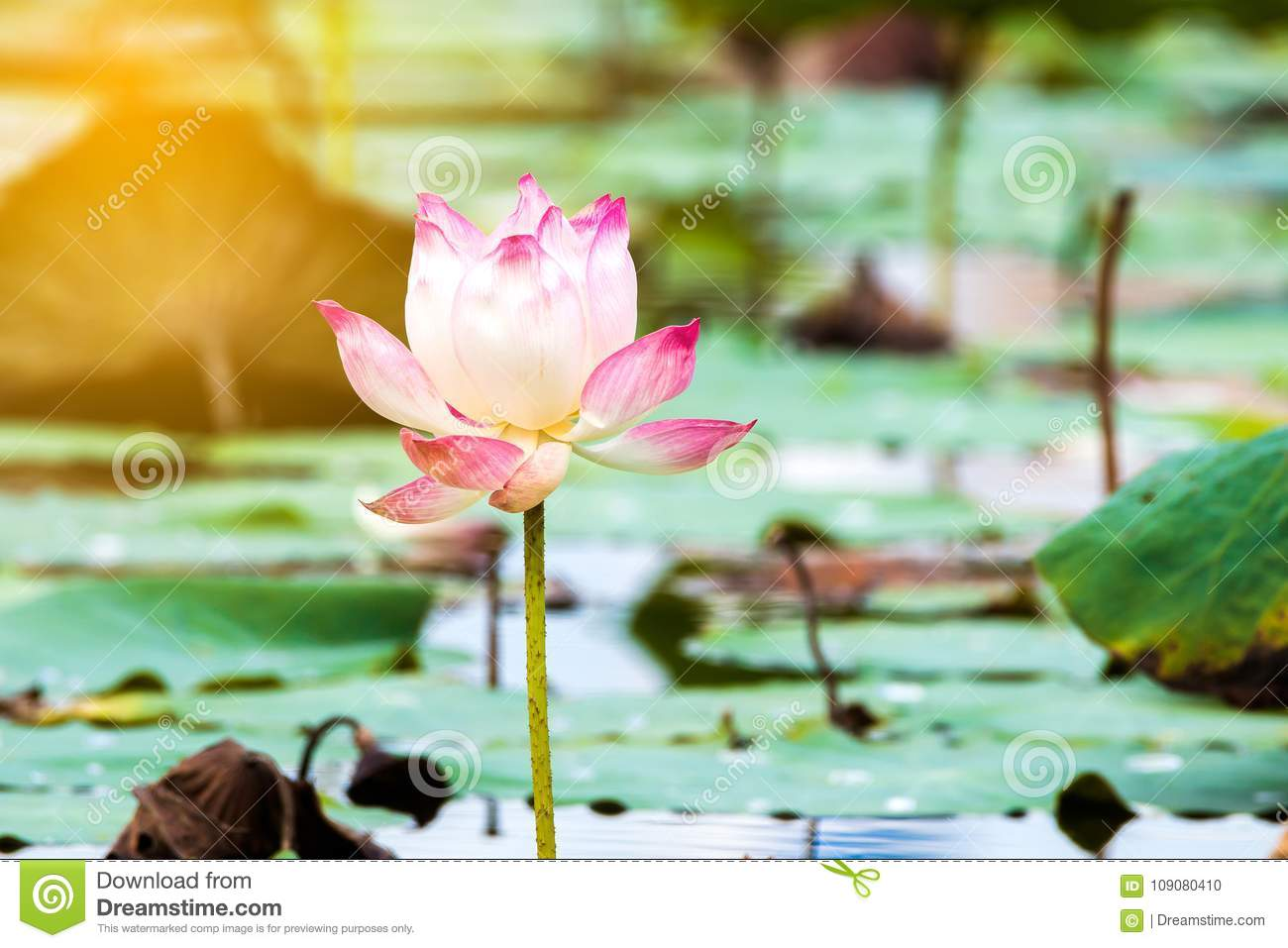 Beautiful lotus flower is the symbol of the buddha thailand stock download beautiful lotus flower is the symbol of the buddha thailand stock photo izmirmasajfo