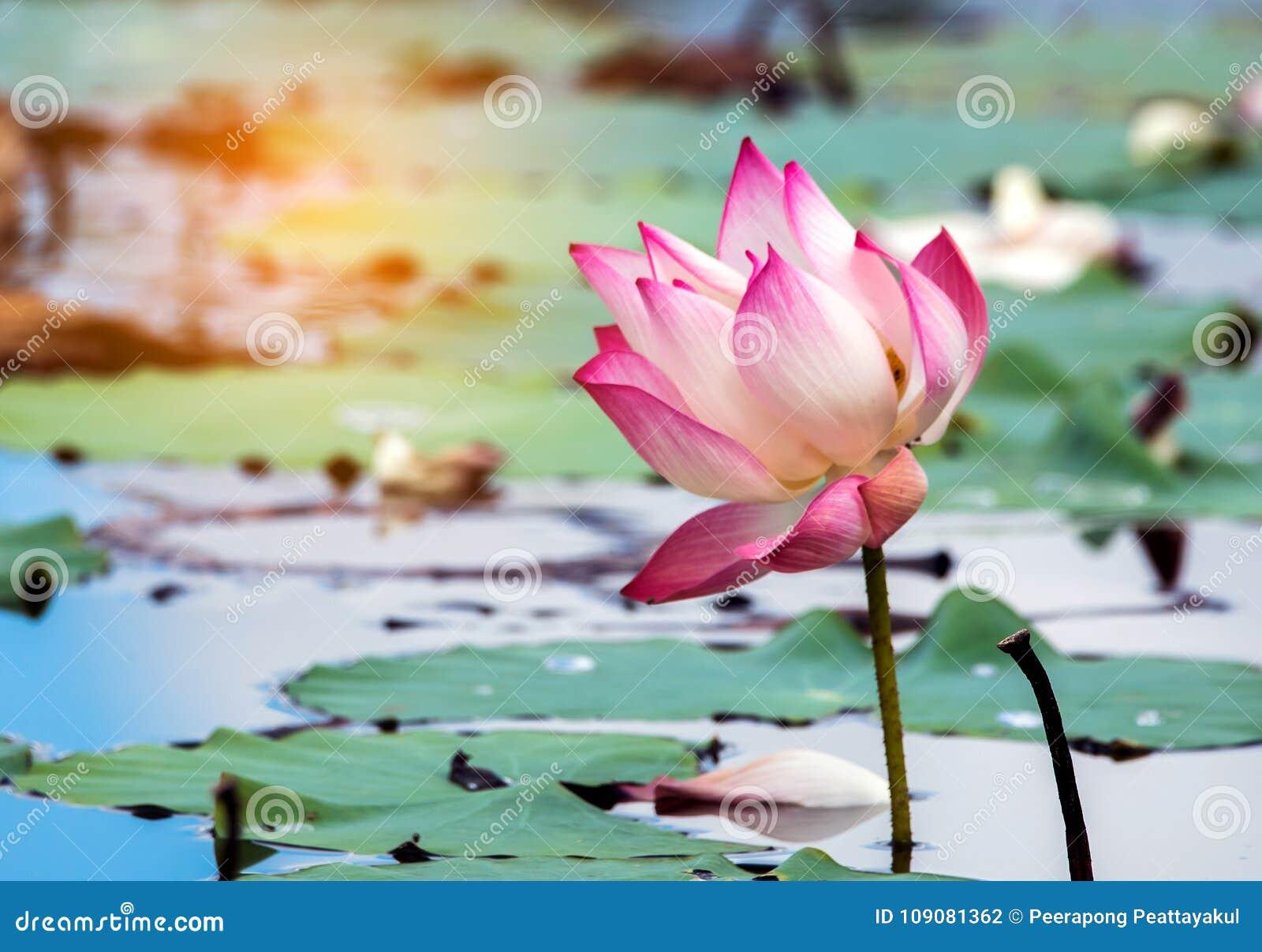 Beautiful lotus flower is the symbol of the buddha thailand stock royalty free stock photo izmirmasajfo