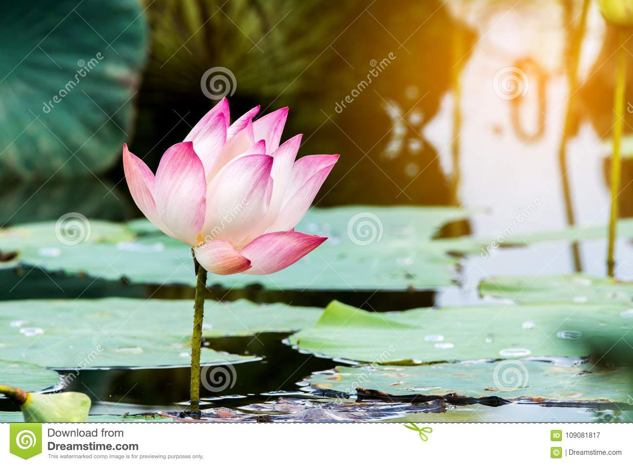 Beautiful Lotus Flower Is The Symbol Of The Buddha Thailand Stock