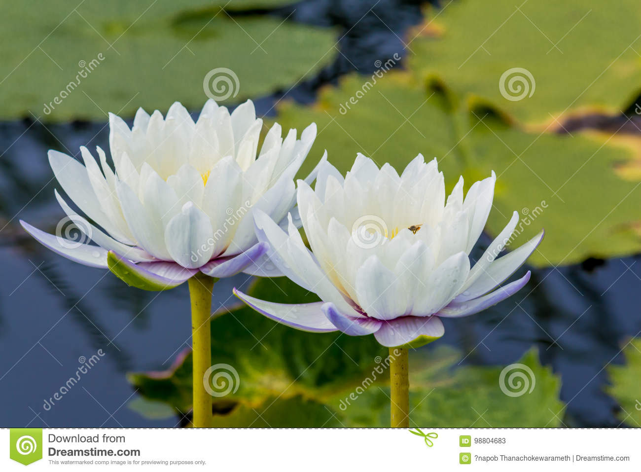 Beautiful lotus flower is the symbol of the buddha thailand stock beautiful lotus flower is the symbol of the buddha thailand mightylinksfo