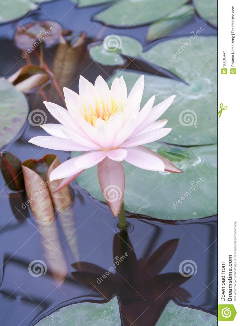 Beautiful Lotus Flower Is The Symbol Of The Buddha Thailand Cl