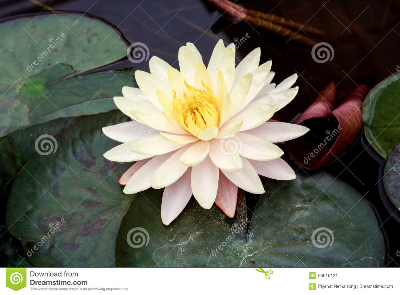 Beautiful lotus flower is the symbol of the buddha stock image royalty free stock photo mightylinksfo