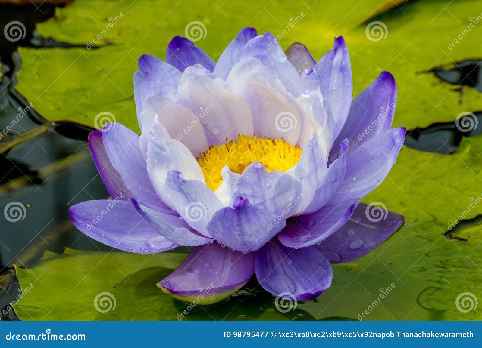 Beautiful lotus flower is the symbol of the buddha thailand stock download beautiful lotus flower is the symbol of the buddha thailand stock image izmirmasajfo