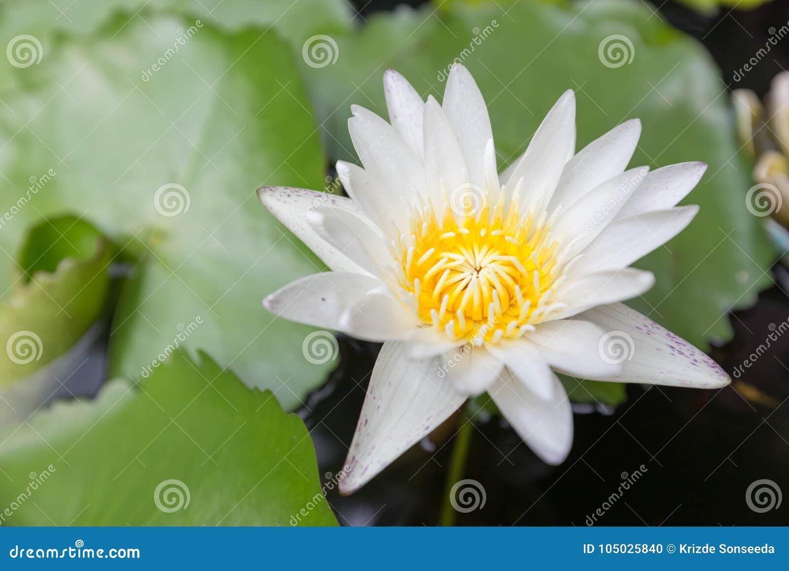 Beautiful lotus flower white lotus flower select focus blur or download beautiful lotus flower white lotus flower select focus blur or blurred soft focus izmirmasajfo