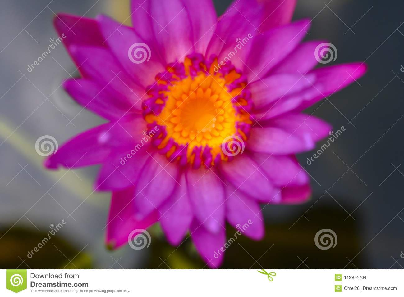 Beautiful Lotus Flowers Or Waterlily In Pond Stock Photo Image Of
