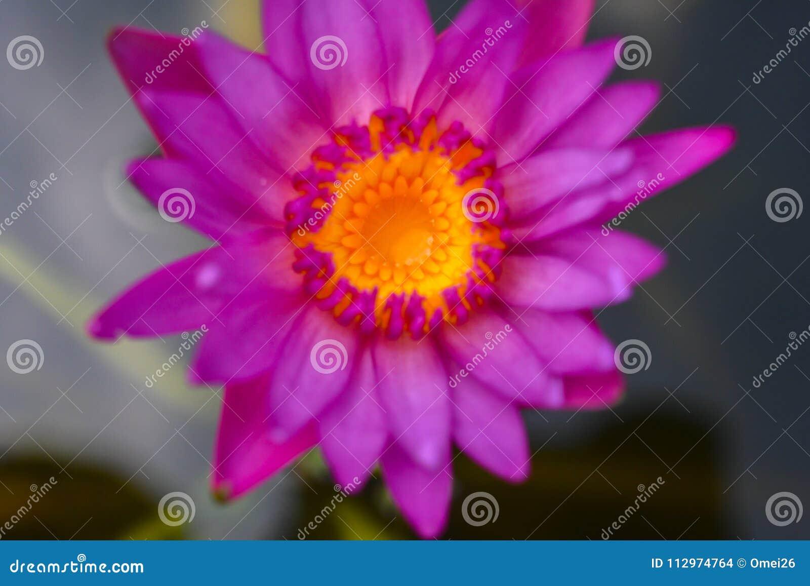 Beautiful lotus flowers or waterlily in pond stock photo image of beautiful lotus flowers or waterlily in pond izmirmasajfo