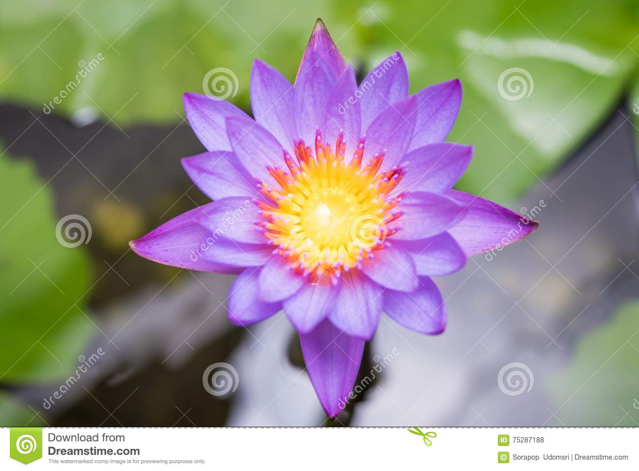 Beautiful Lotus Flower Against A White Background Stock
