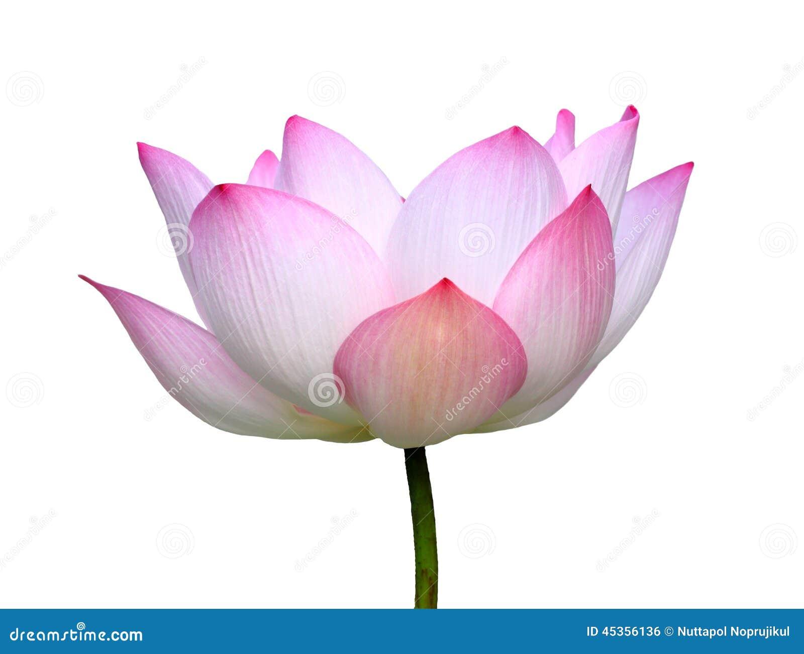 Beautiful Lotussingle Lotus Flower Isolated On White Background