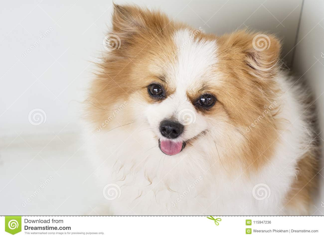 Beautiful And Lovely Dogs White And Brown Furry Pomeranian Stock