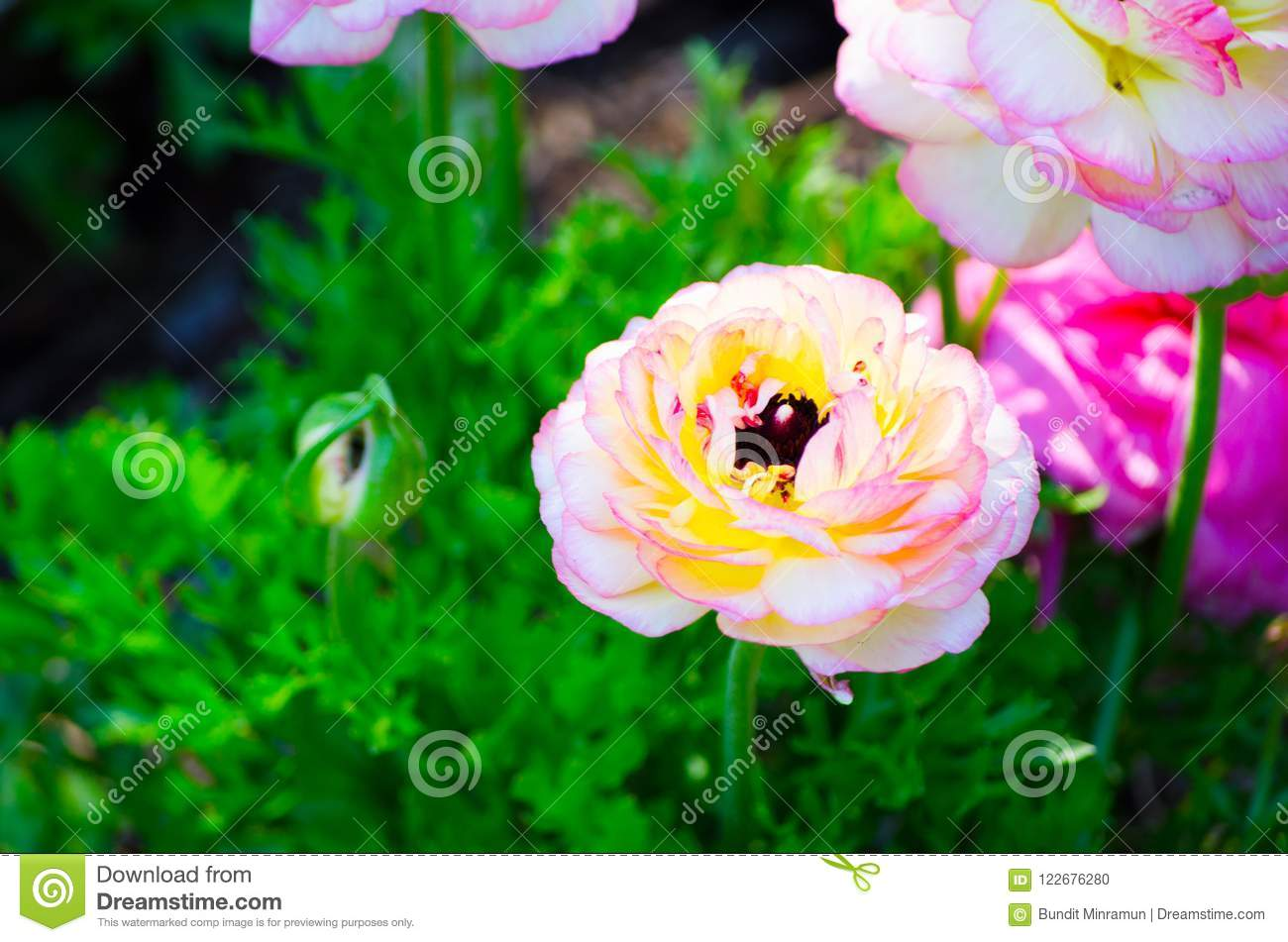 Beautiful Lovely Mixed Color White And Pink Ranunculus Or Buttercup ...