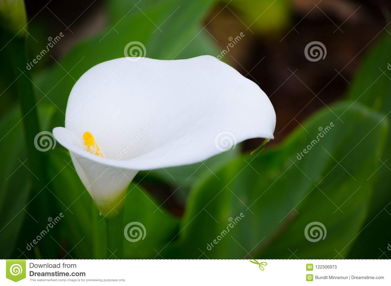 Beautiful lovely white calla lily flower at botanical garden stock download beautiful lovely white calla lily flower at botanical garden stock image image of izmirmasajfo