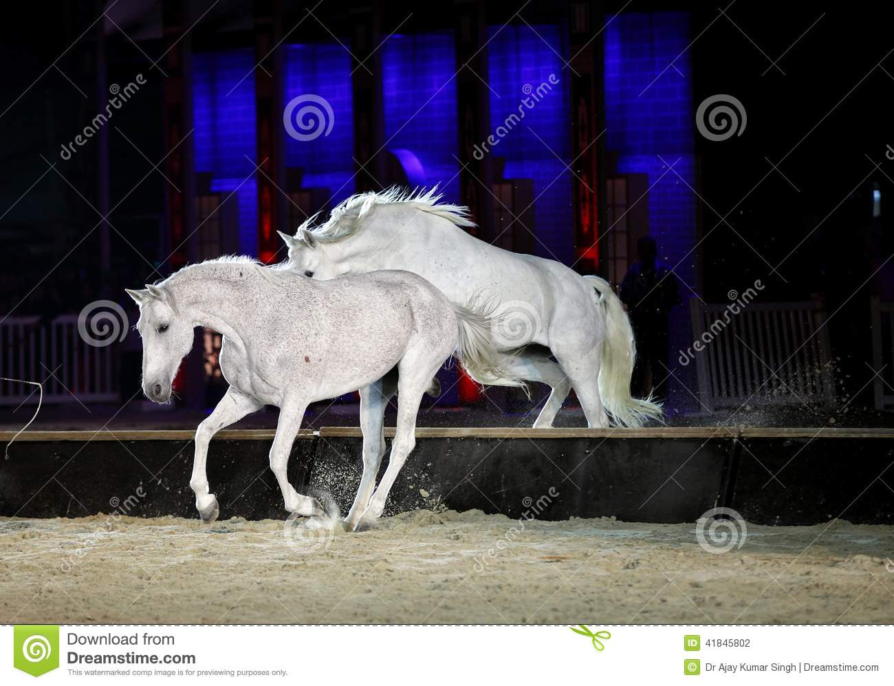 Beautiful Lusitano Horses Jumping Stock Photo - Image ...