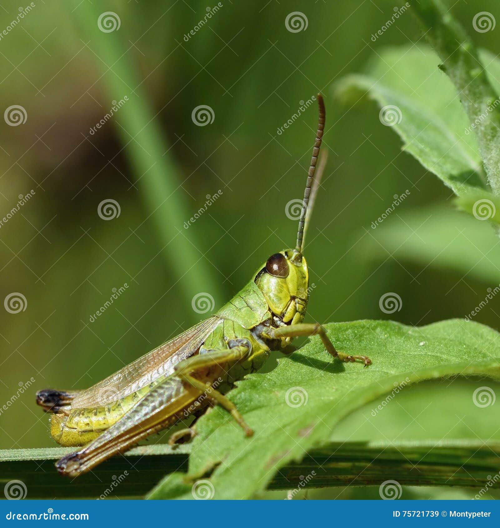 Beautiful macro shot of a grasshopper in the grass. Nature close up.