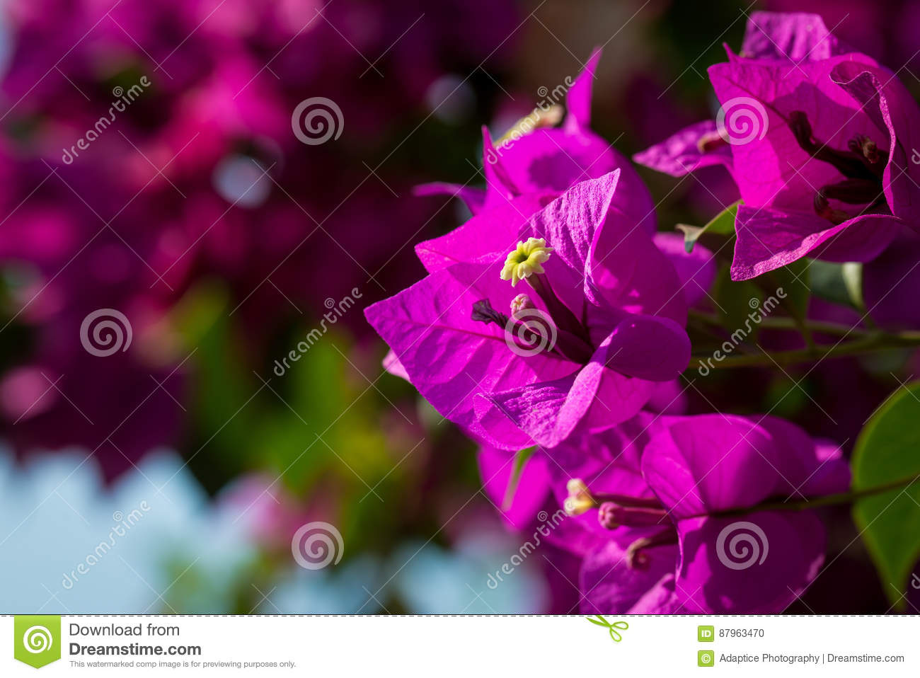 Beautiful magenta bougainvillea flowers closeup. Vivid colors and blue, green soft blurry background.