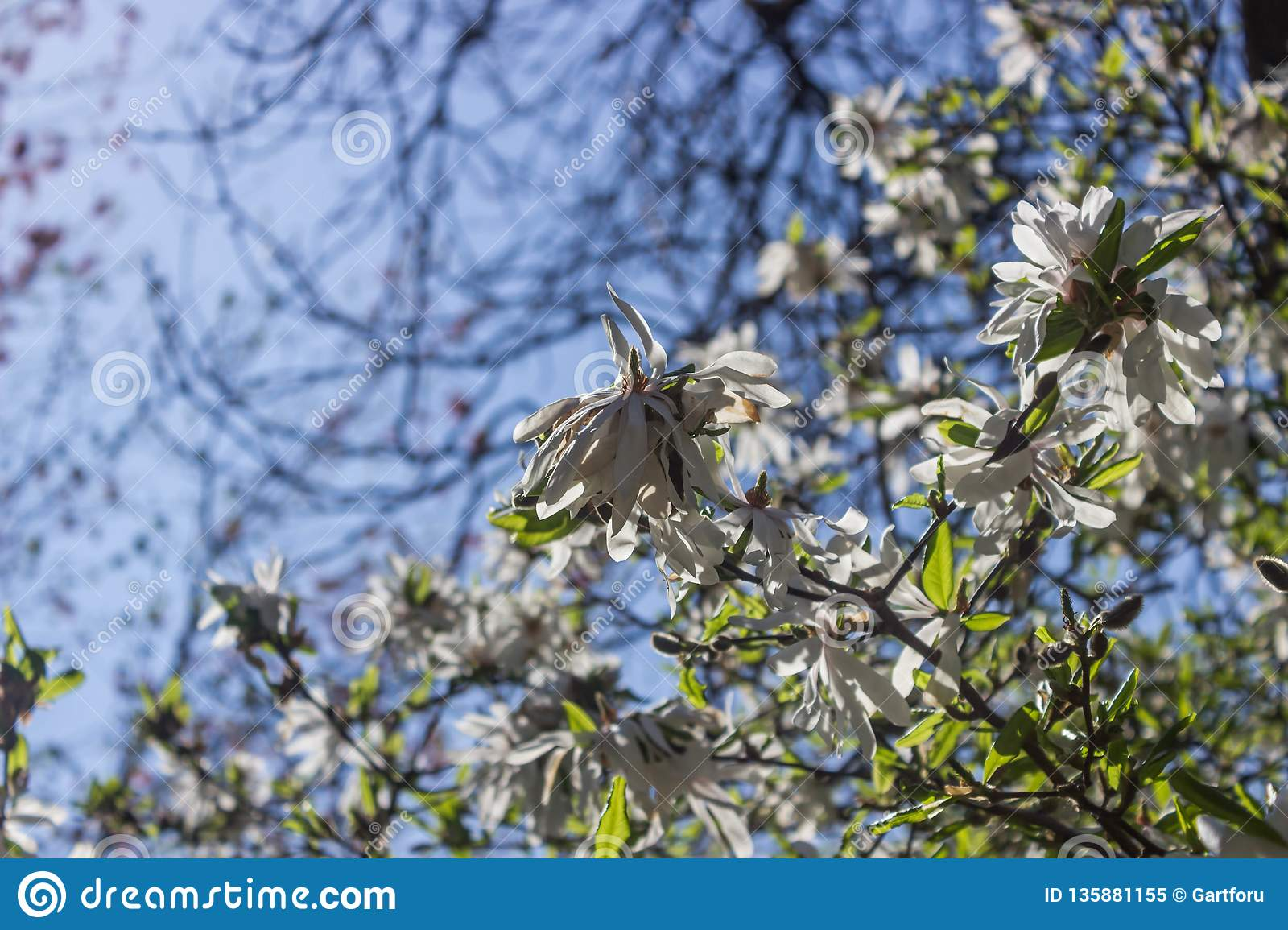 Beautiful Magnolia Flowers Background Floral Spring Background