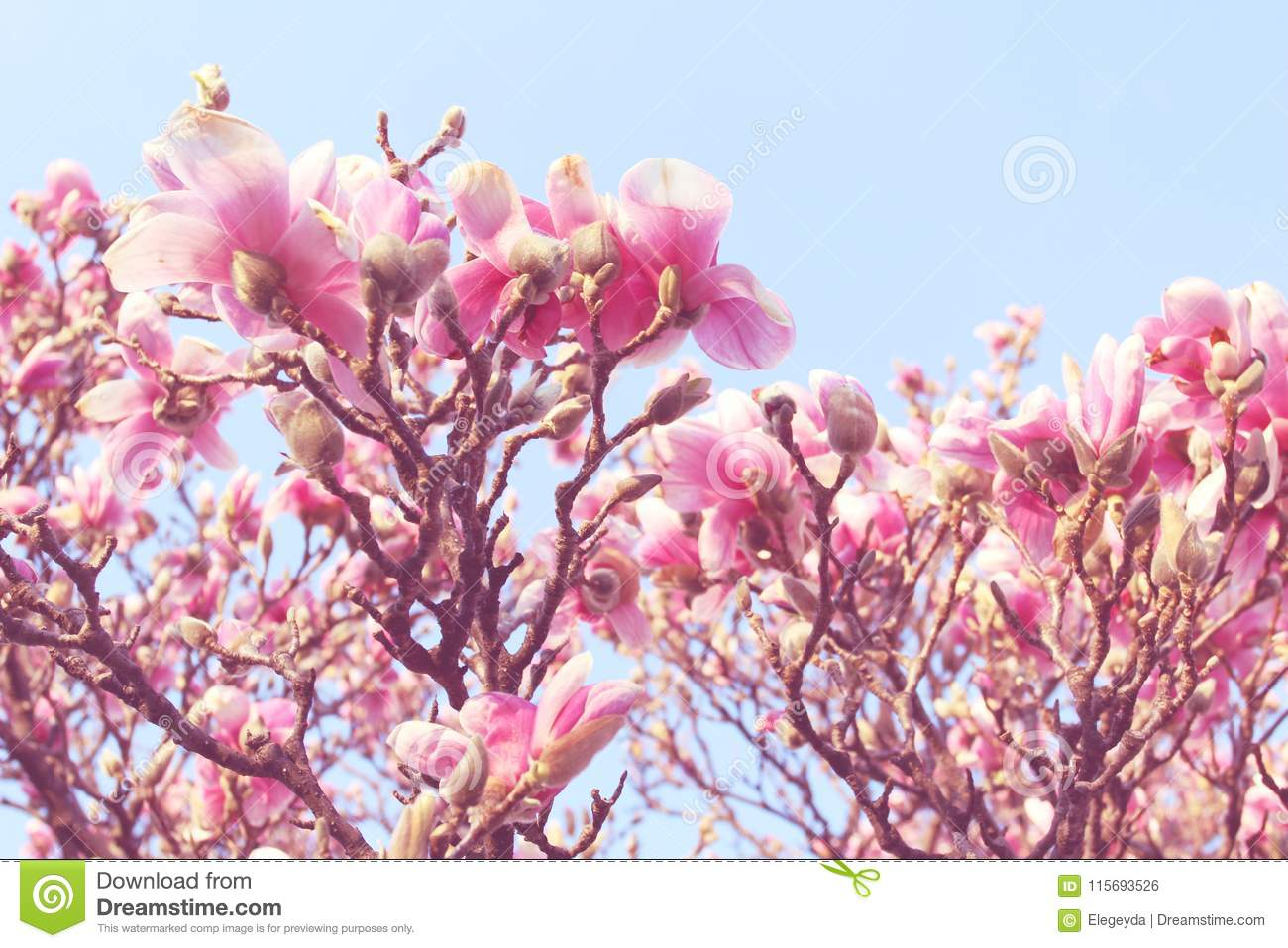 Beautiful Magnolia Tree In Blooming Stock Photo Image Of Beauty