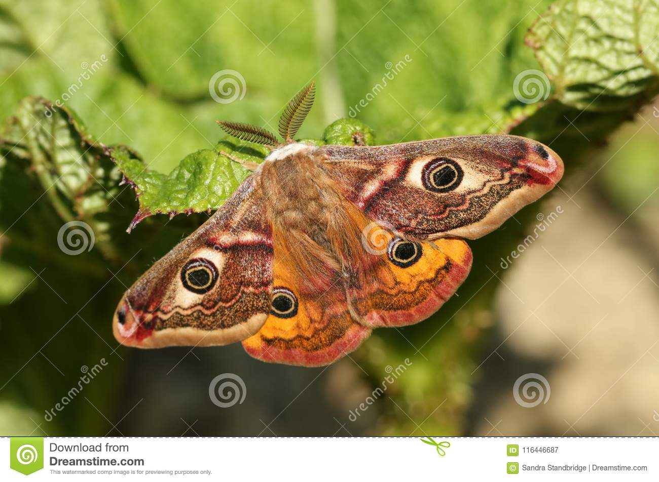 A stunning male Emperor Moth Saturnia pavonia perching on a leaf.