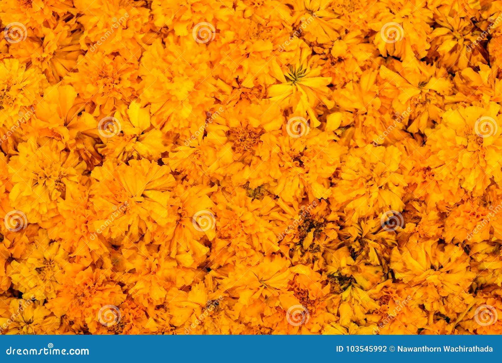 Beautiful Marigold Calendula officinalis for flower background