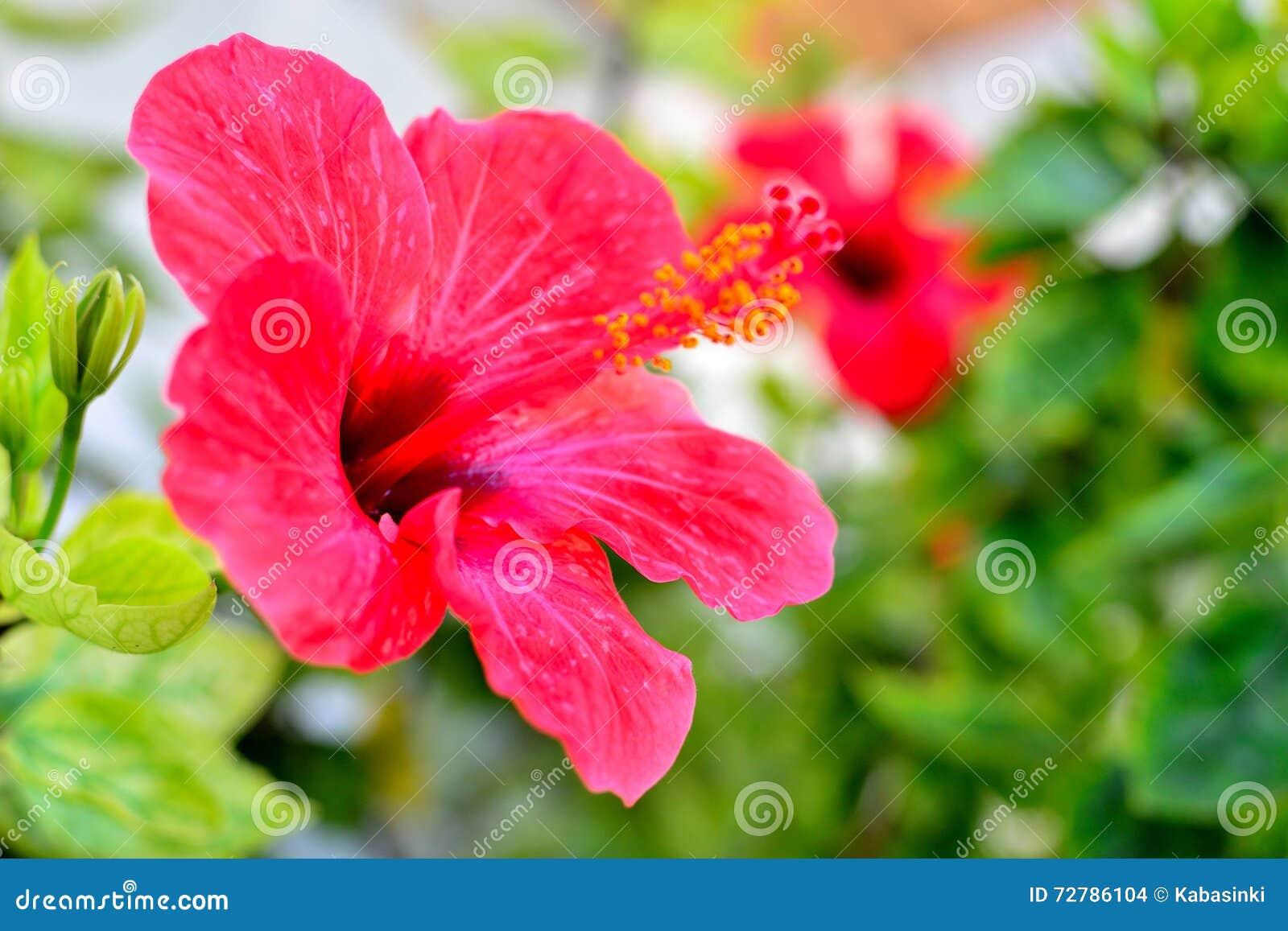 Beautiful Mediterranean Hibiscus Stock Photo Image Of Pretty