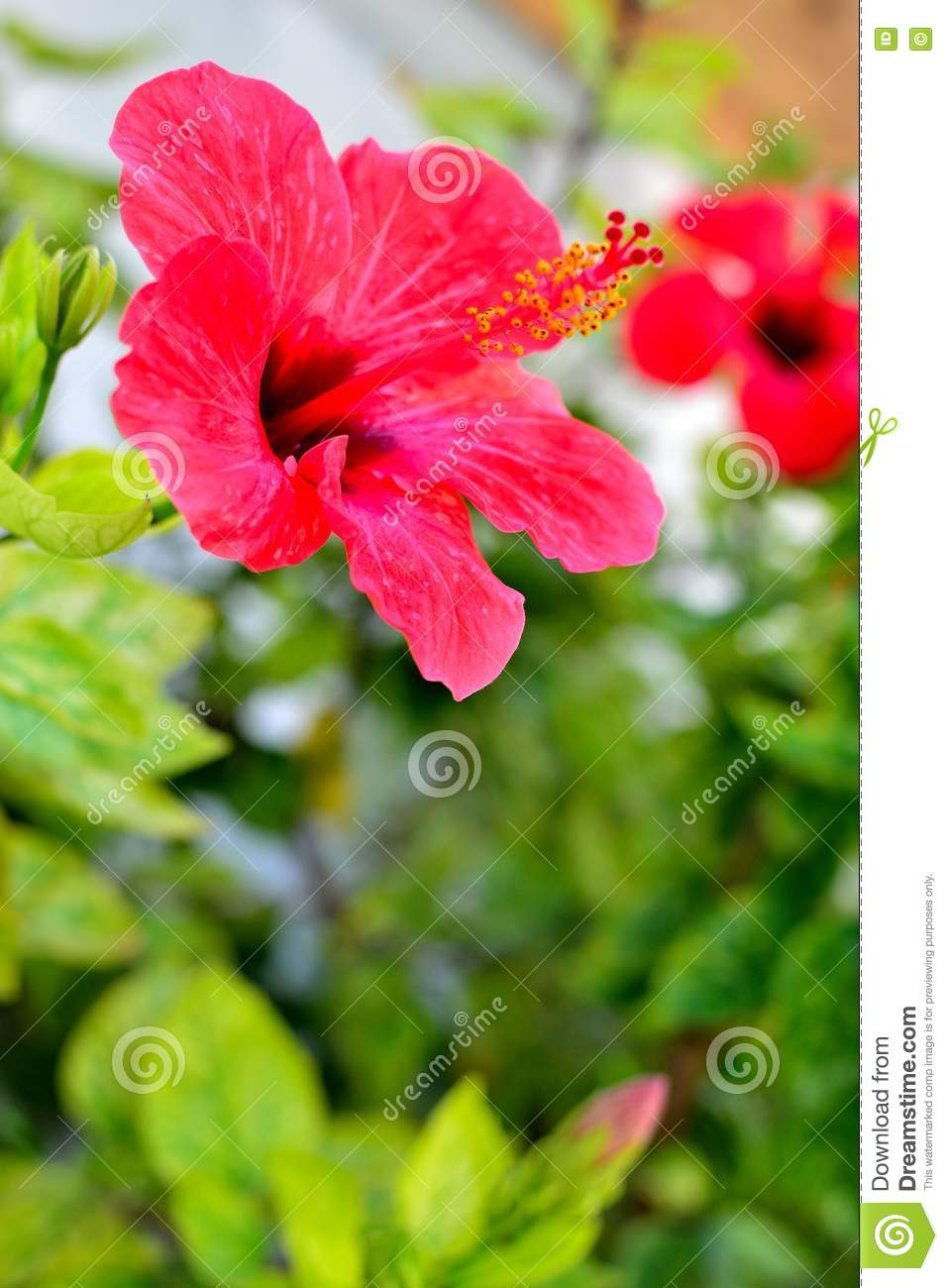 Beautiful mediterranean hibiscus stock image image of leaf lovely royalty free stock photo izmirmasajfo