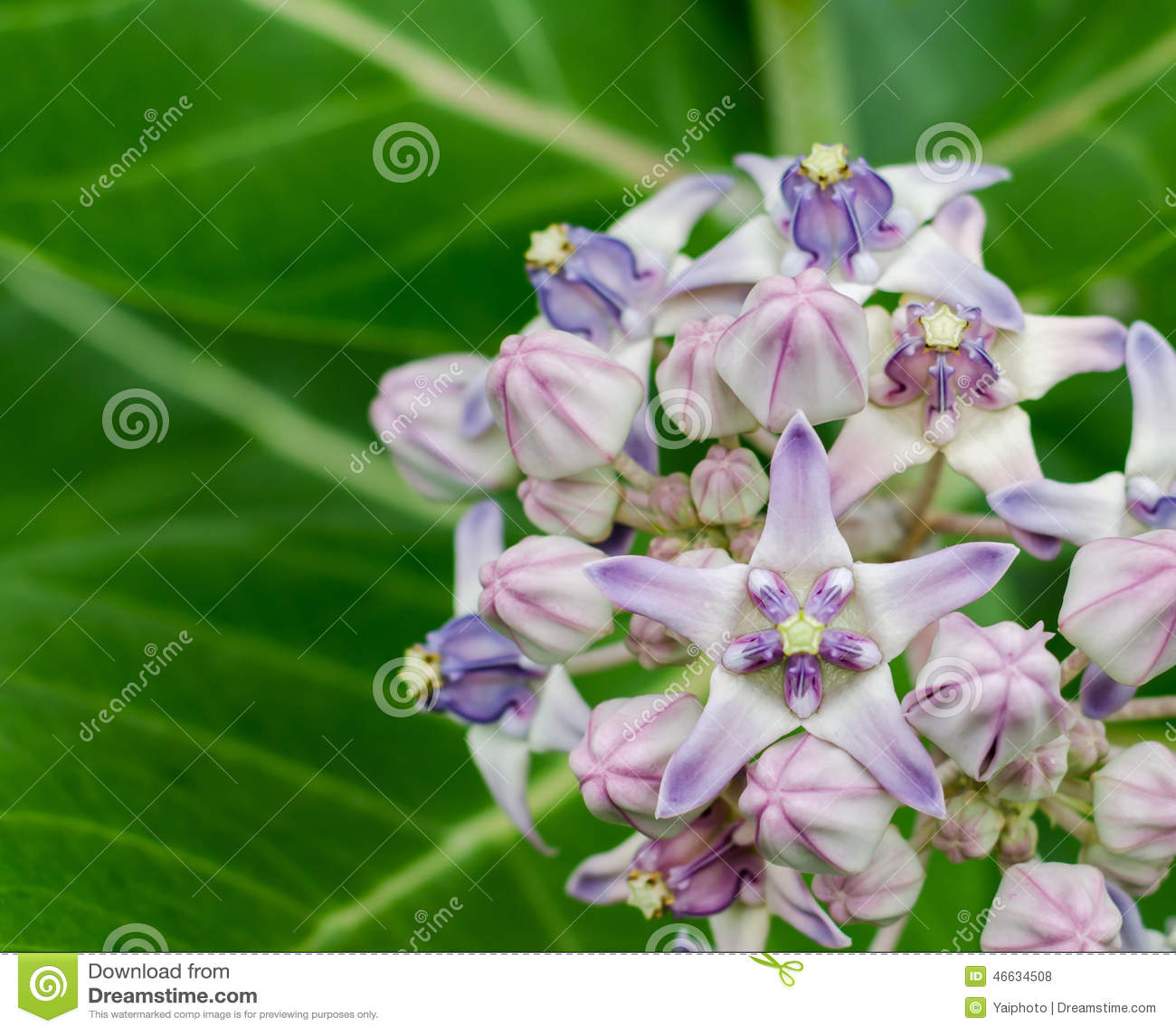 Beautiful Milkweed, Gigantic Swallowwort