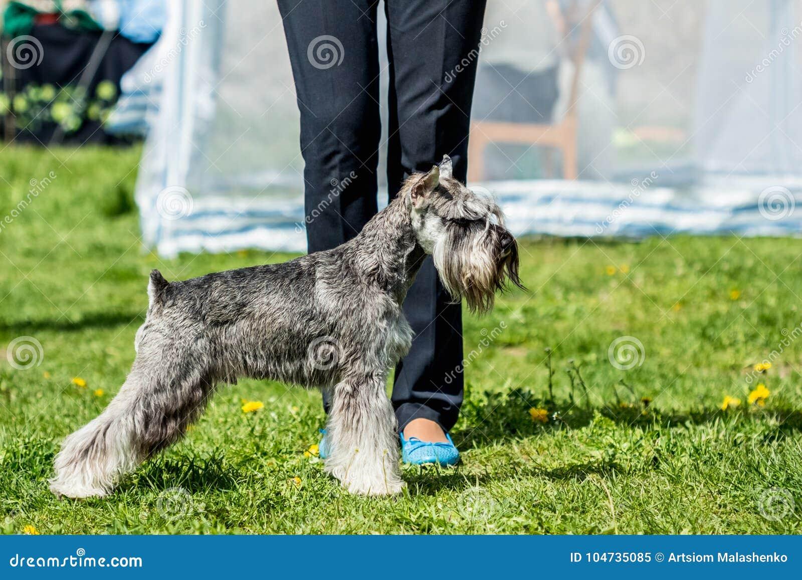 Miniature Schnauzer Zwergschnauzer gray dog stands in the green
