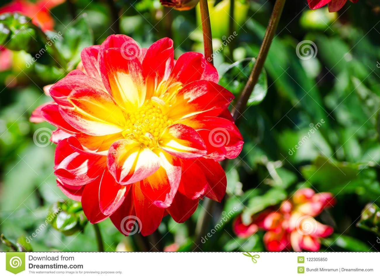 Beautiful Mixed Color Yellow And Red Of Dahlia Flowers With Its