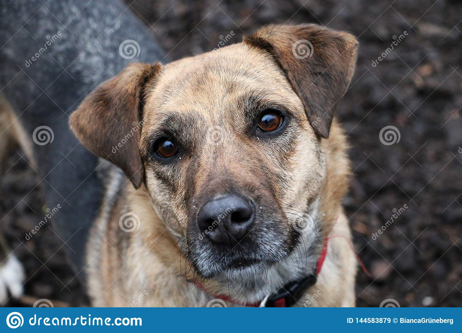 Beautiful mixed shepherd dog is standing in the garden and looking up to the camera