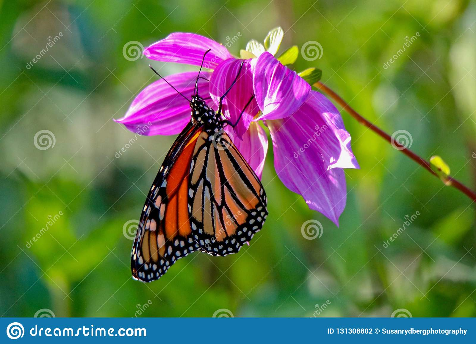Beautiful Monarch Butterfly feeding on a pink dahlia in the sunlight