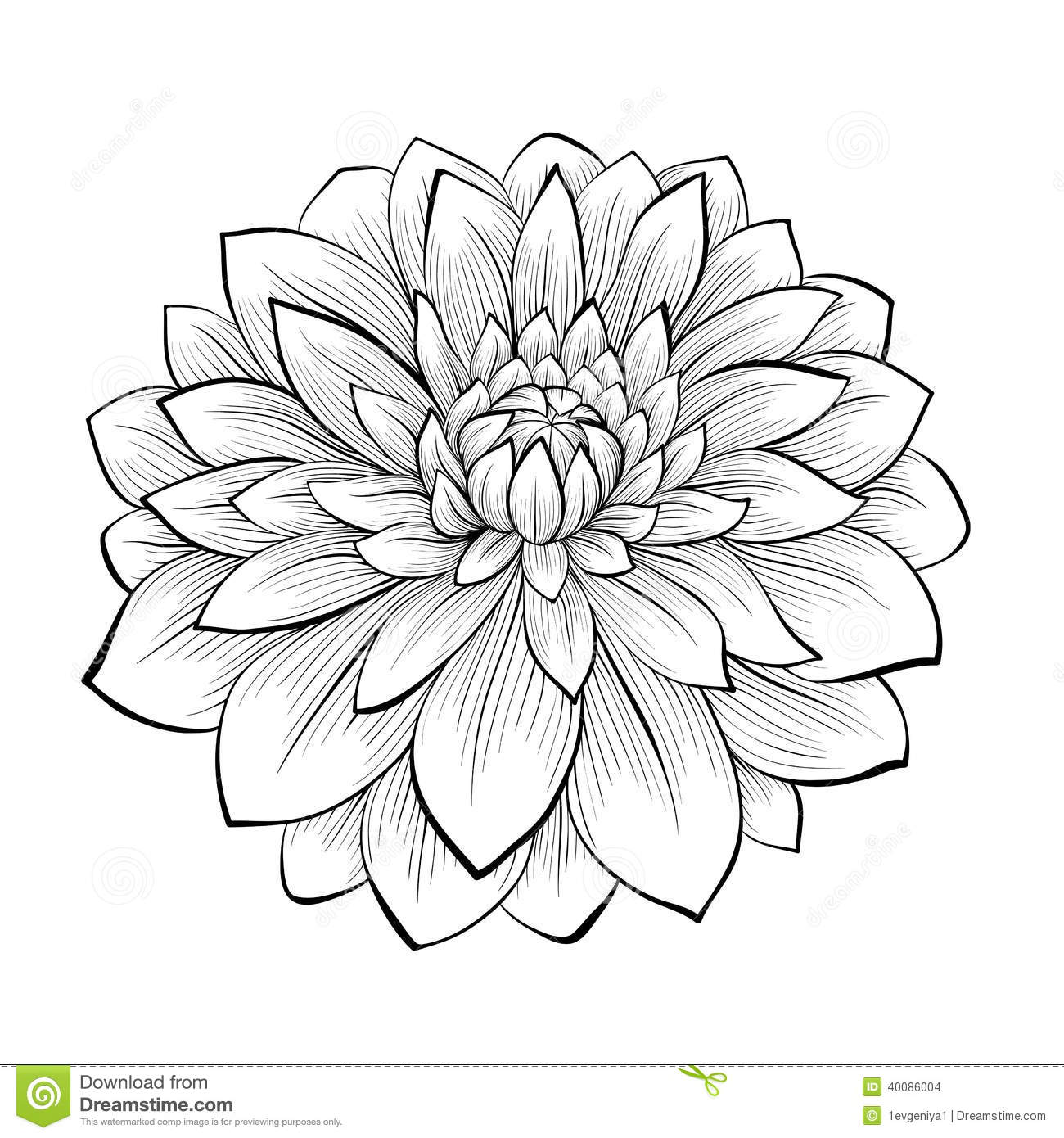 Contour Line Drawing Of A Plant : Beautiful monochrome black and white dahlia flower