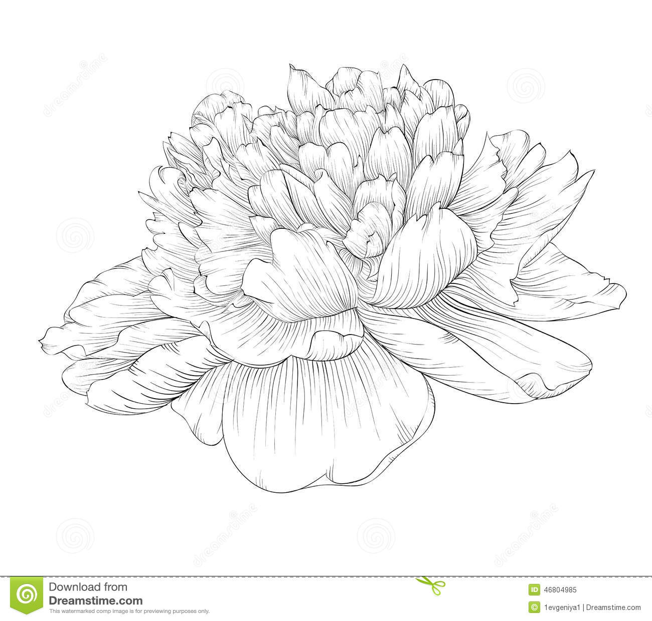 Peony flower isolated on white stock vector 368014568 shutterstock - Fully Open Peony Flower Monochrome Drawing For Coloring Book Hand