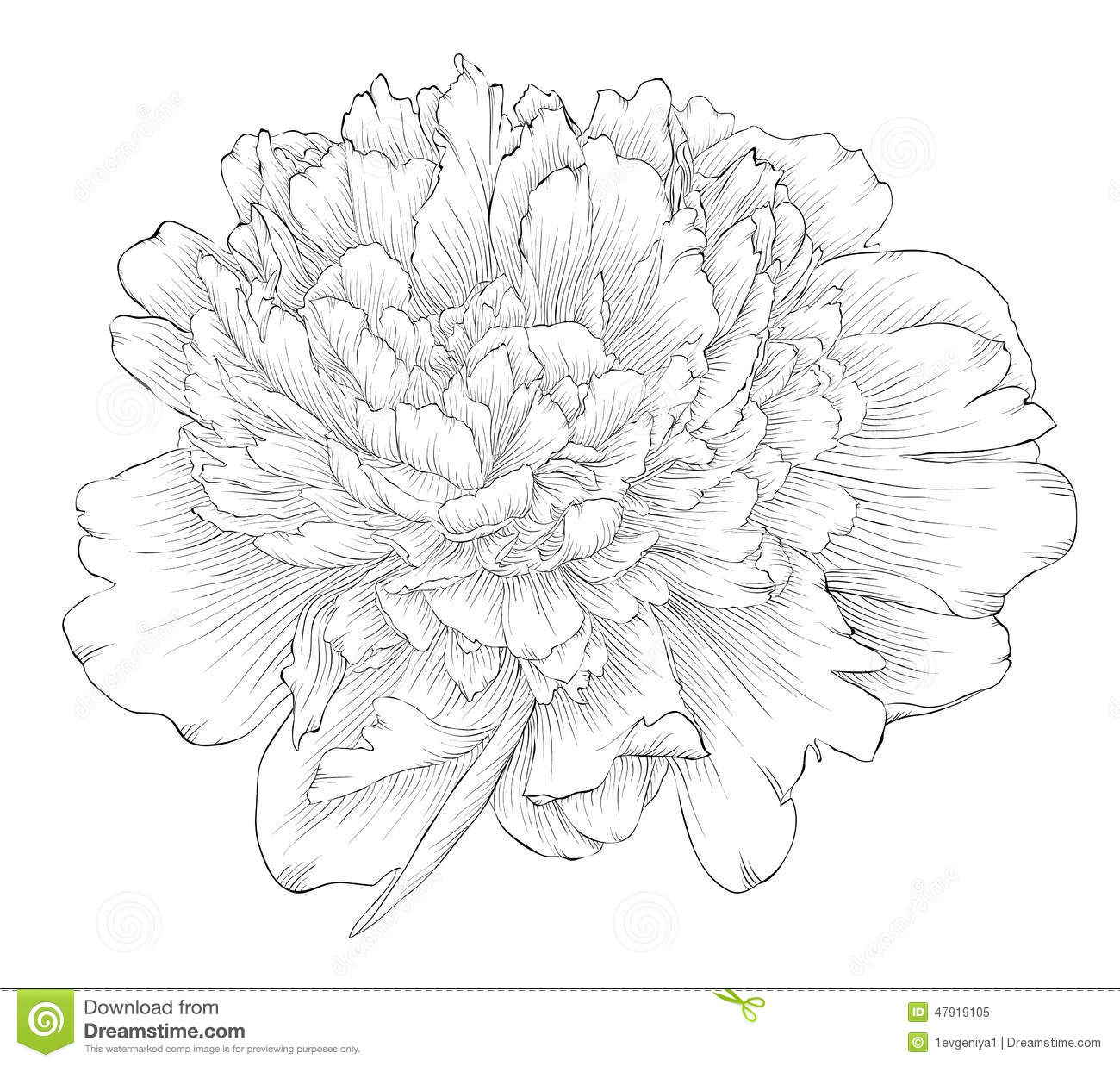 Peony Flower Line Drawing : Beautiful monochrome black and white peony flower isolated