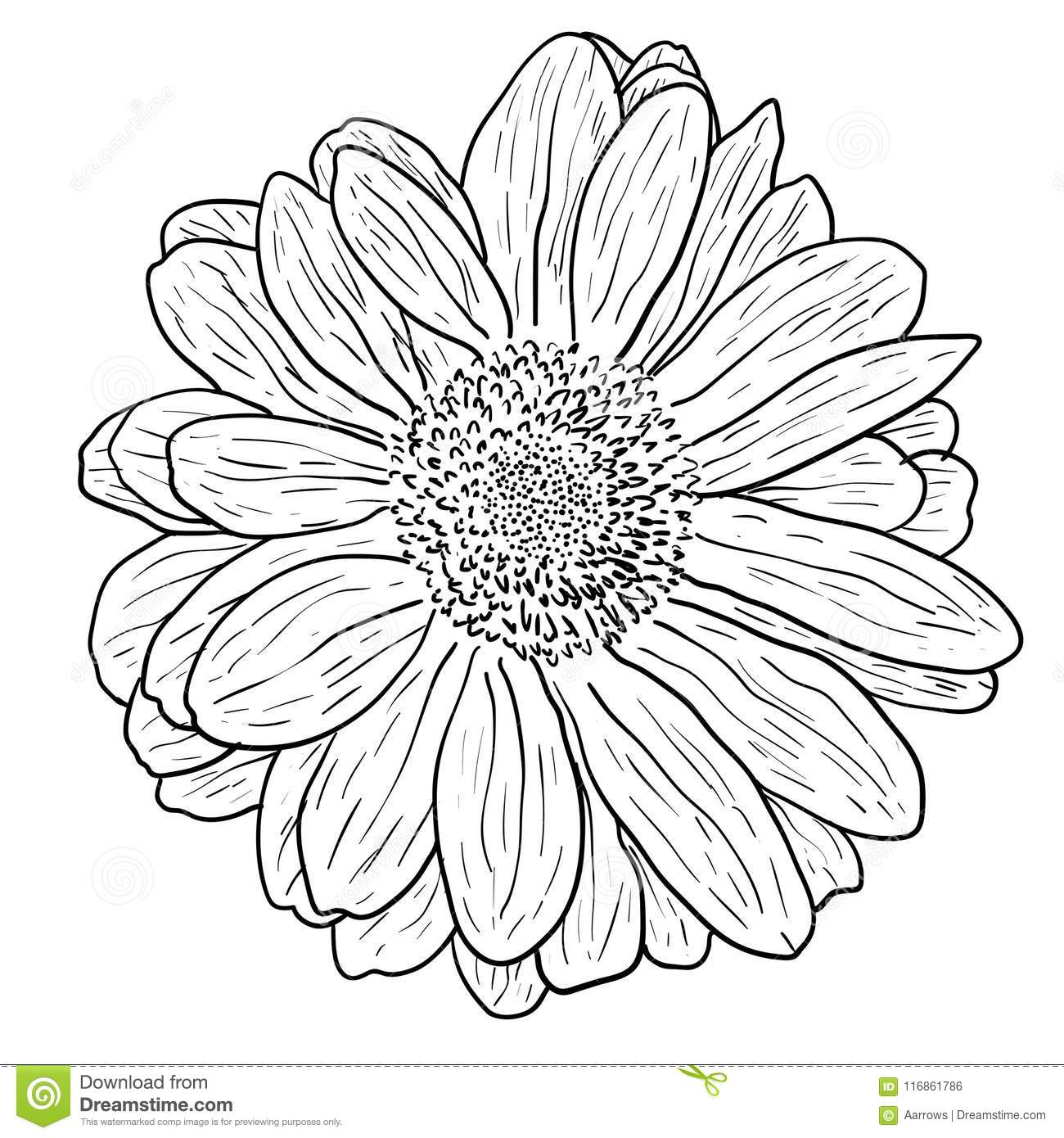 Beautiful Monochrome Sketch Black And White Dahlia Flower Isolated