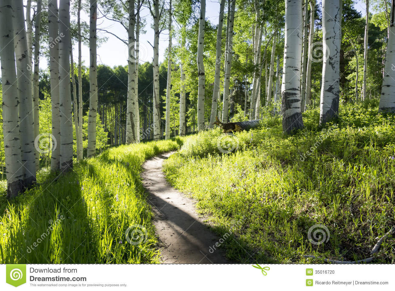 Beautiful Mountain Hiking Trail Through Aspen Trees Of Vail Colorado ...