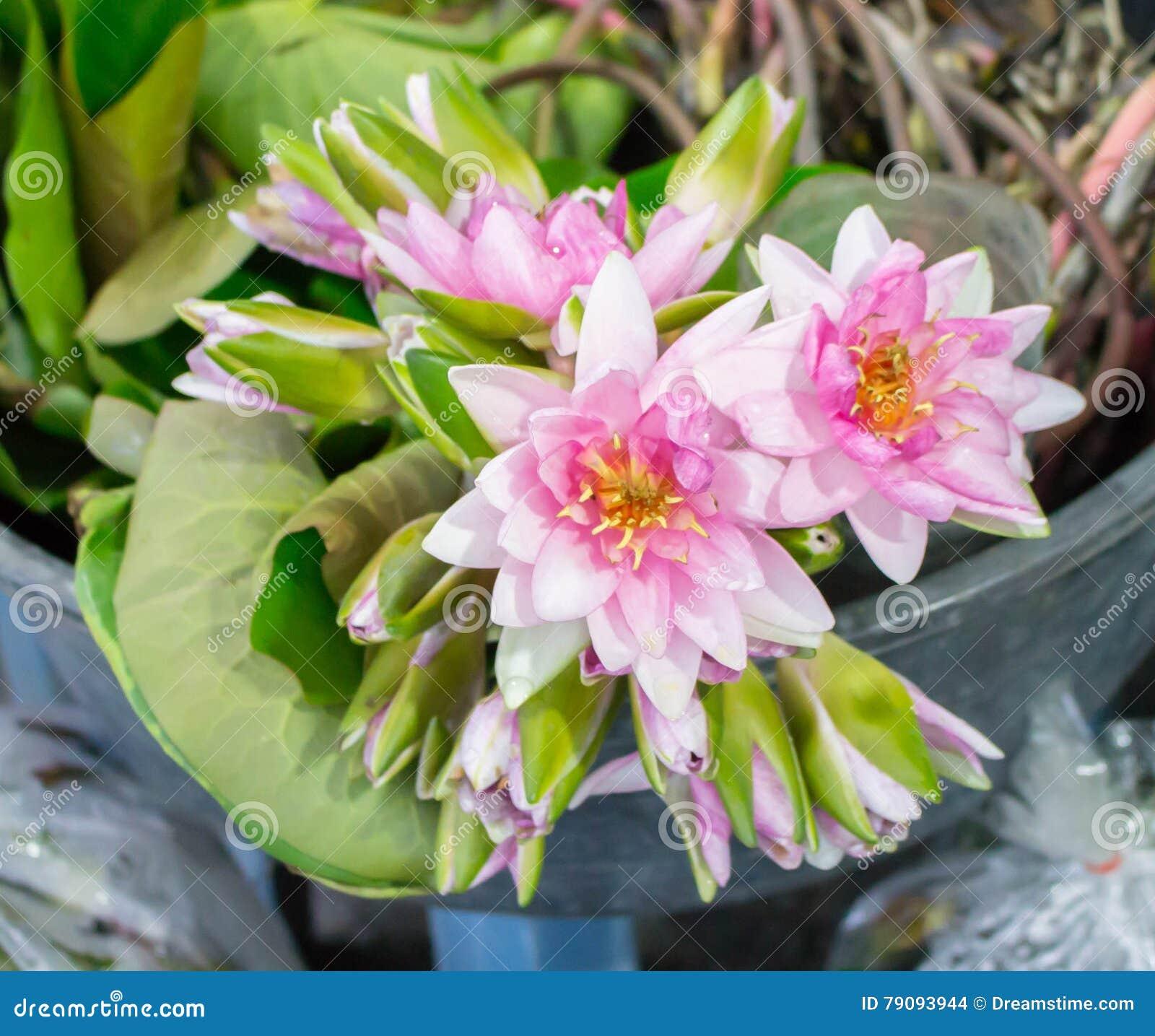 Beautiful Multi White-pink Waterlily Or Lotus Flower Stock Photo ...